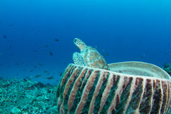 Green turtle sitting in a barrel sponge stock images