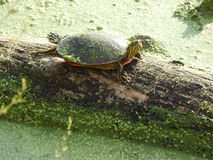 Rainbow turtle sitting on algae log Stock Image