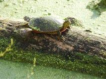 Rainbow turtle sitting on algae log Stock Image