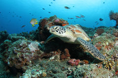 Green turtle sitting in tropical coral reef Stock Photo