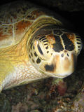 Green turtle sleeping Stock Image