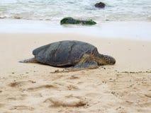 Green turtle sleeping on the beach, Oahu, Hawaii Stock Photos