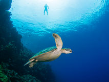 Green turtle and snorkeler. Green turtle on a coral reef in Indonesia, Bunaken Island Royalty Free Stock Image