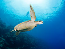 Green turtle and snorkeler Royalty Free Stock Photo