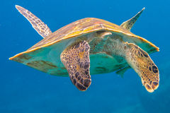 Green turtle snorkeling. Clse up of back green turtle, Chelonia mydas, in blue water. Similan Islands in Thailand, Andaman Sea Royalty Free Stock Image