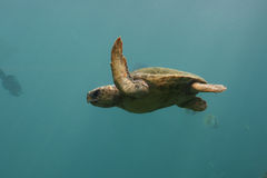 Green Turtle swim in indian blue ocean 2 Royalty Free Stock Photography