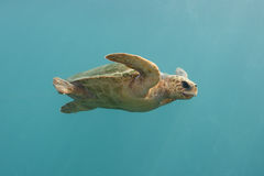 Green Turtle swim in indian blue ocean Royalty Free Stock Images