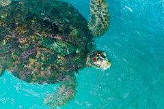 Green turtle swiming. In sea water Royalty Free Stock Images