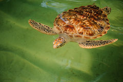 Green turtle swiming under water Stock Photos
