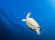 Green Turtle swimming Royalty Free Stock Images