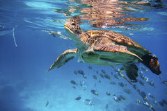 Green turtle swimming in a blue ocean Stock Photo