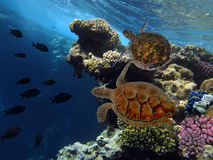 Green turtle swimming in blue ocean. Red Sea Royalty Free Stock Photography