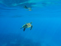 Green turtle swimming in blue sea. Ocean animal living underwater. Green sea turtle in blue water. Green turtle swimming in blue sea. Ocean animal living stock image