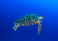 Green Turtle swimming in blue water Royalty Free Stock Photography