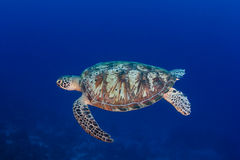 Green Turtle swimming in blue water near a coral reef Royalty Free Stock Images