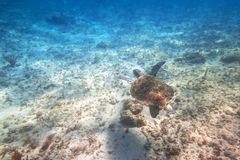 Green turtle swimming in the Caribbean sea. Of Mexico Stock Images