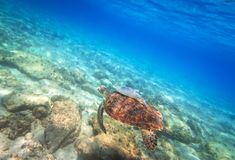Green turtle swimming in the Caribbean sea. Of Mexico Stock Photos