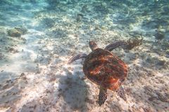 Green turtle swimming in the Caribbean sea. Of Mexico Stock Photo