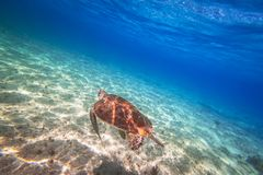 Green turtle swimming in the Caribbean sea. Of Mexico Royalty Free Stock Photos