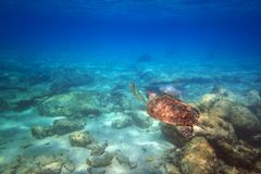 Green turtle swimming in the Caribbean sea. Of Mexico Royalty Free Stock Image