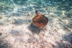 Green turtle swimming in the Caribbean sea. Of Mexico Royalty Free Stock Photo