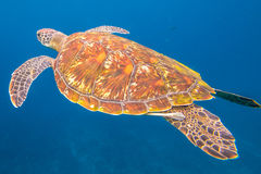 Green turtle swimming. Green turtle, Chelonia mydas, swimming in blue water at the Similan Islands in Thailand, Andaman Sea Royalty Free Stock Photography