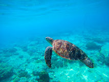 Green turtle swimming in Hawaiian seawater. Sea turtle in wild nature. Sea tortoise diving in blue lagoon. Oceanic animal photo for card or banner. Snorkeling Stock Photos