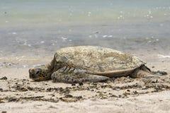 Green Turtle swimming near the shore in Hawaii Stock Image