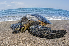 Green Turtle swimming near the shore in Hawaii Stock Image
