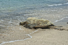 Green Turtle swimming near the shore in Hawaii Stock Photography
