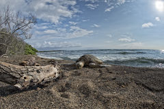 Green Turtle swimming near the shore in Hawaii Stock Images