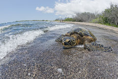 Green Turtle swimming near the shore in Hawaii Stock Photo