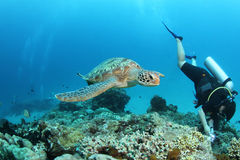 Green turtle swimming next to a diver Stock Image