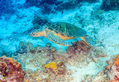 Green Turtle swimming over a coral reef Stock Photo
