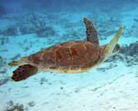 Green Turtle. Swimming over coral rubble Stock Photography