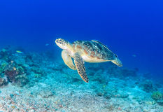 Green Turtle swimming over a damaged coral reef royalty free stock photography