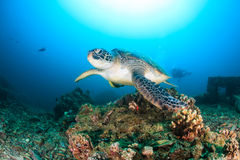 Green Turtle swimming on a reef royalty free stock images