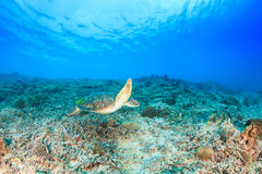 Green Turtle swimming on a reef Stock Photo