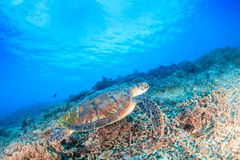 Green Turtle swimming on a reef Royalty Free Stock Image