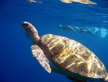 Green Turtle Swimming Royalty Free Stock Photo