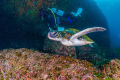 Green Turtle. Is swimming in the sea Stock Photography