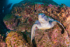 Green Turtle. Is swimming in the sea Royalty Free Stock Photography