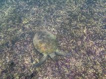 A Green Turtle swimming in the sea near the Muscat coast in Oman Royalty Free Stock Image