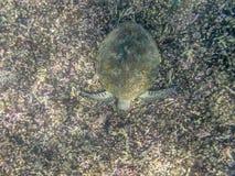 A Green Turtle swimming in the sea near the Muscat coast in Oman Stock Photo
