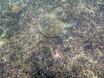 A Green Turtle swimming in the sea near the Muscat coast in Oman Royalty Free Stock Photo