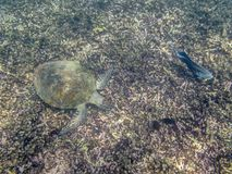 A Green Turtle swimming in the sea near the Muscat coast in Oman Royalty Free Stock Images