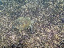 A Green Turtle swimming in the sea near the Muscat coast in Oman Royalty Free Stock Photography