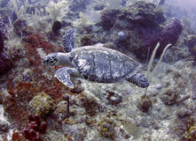 Green turtle swimming tropical,roatan,honduras Royalty Free Stock Image