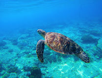 Green turtle swimming in tropical seawater. Sea turtle in wild nature. Sea tortoise diving in blue lagoon. Oceanic animal photo for card or banner. Snorkeling Royalty Free Stock Images