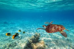 Green turtle swimming in the tropical water. Of Caribbean Sea Stock Photography